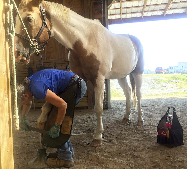 horse sleeps while barefoot trimmer files his hoof