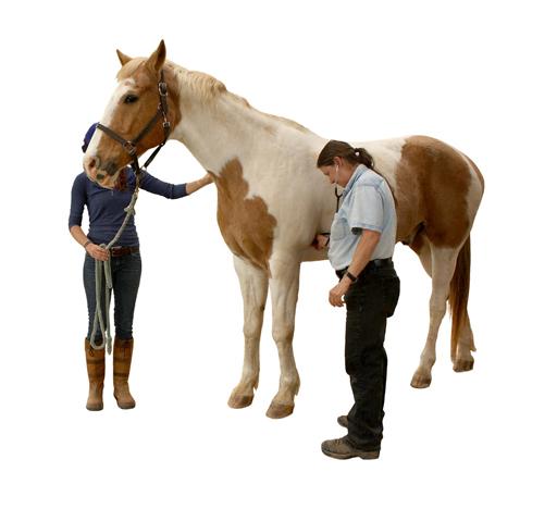 owner holds horse while vet checks vital signs