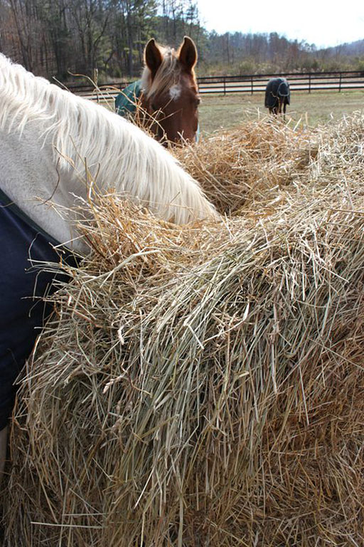 horse eats hay with head inside round bale