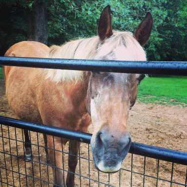 pony nose through gate waiting for cookie