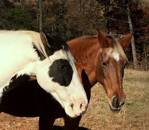 two opinionated horses - one chestnut and one pinto