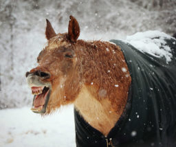 blanketed horse laughs at winter snow